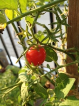 cherry tomato on rooftop