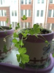 Parsley today, planted Dec 1, 2014